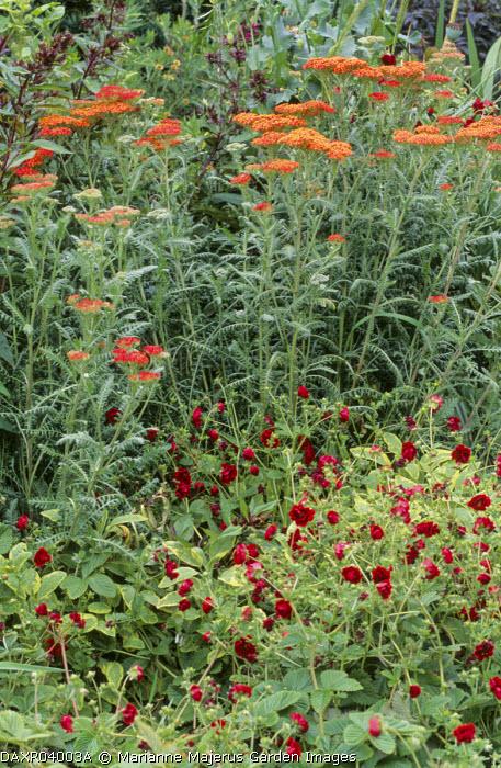 Achillea millefolium 'Red Beauty', Potentilla atrosanguinea