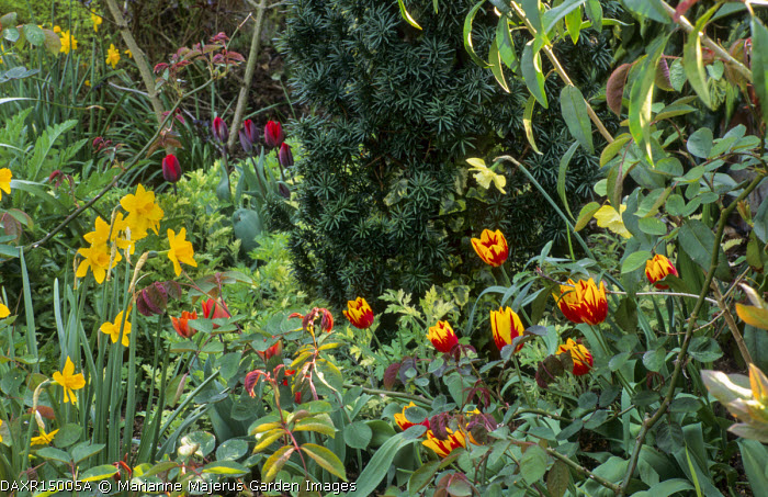 Tulipa 'Mickey Mouse' in border around base of Taxus baccata