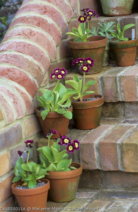 Primula auricula 'Lockyers Frilly' in containers on steps
