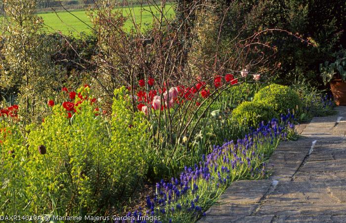 Paved path, spring border, euphorbia, tulips, muscari