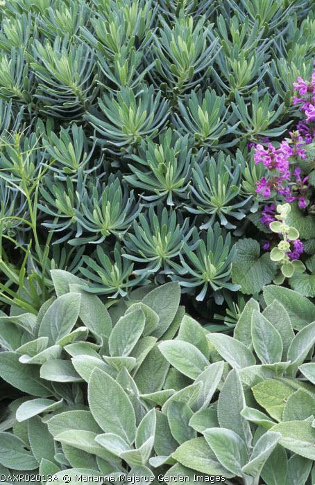 Euphorbia characias 'Portuguese Velvet', Stachys byzantina