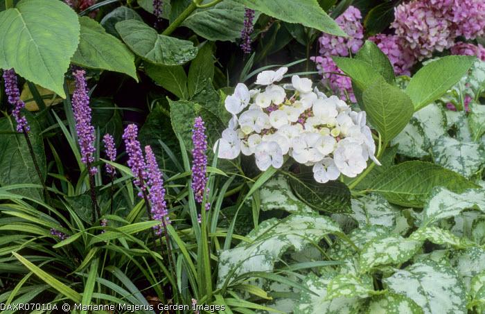 Hydrangea, Liriope muscari, pulmonaria leaves