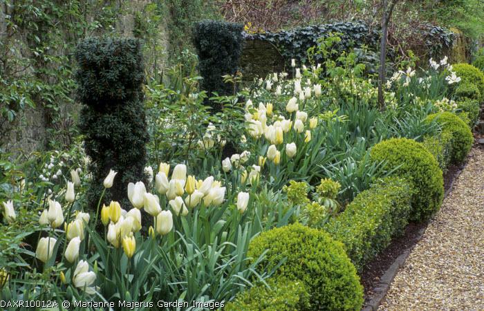 White spring border, Tulipa 'Maureen', hellebores, yew, box edging, gravel path