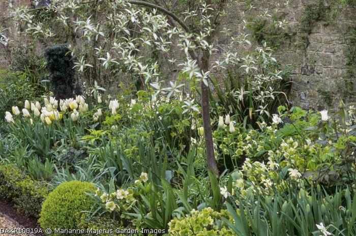 White spring border, Tulipa 'Maureen', snowdrops, hellebores, box edging, Elaeagnus 'Quicksilver'