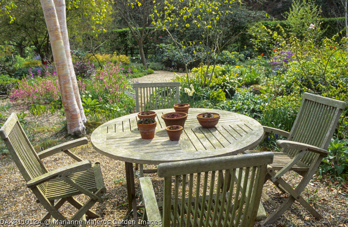 Wooden table with succulents in containers, chairs, gravel, daffodils, Betula utilis var. jacquemontii stems, Prunus tenella 'Fire Hill'