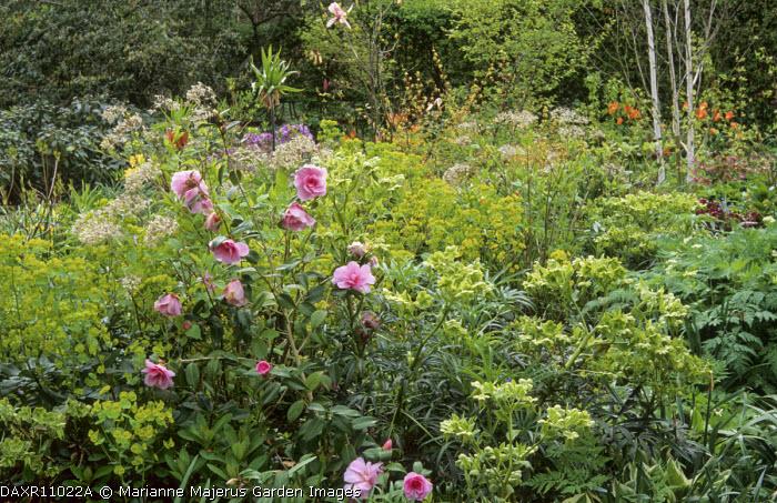 Spring borders, Camellia x williamsii 'Donation', euphorbia, hellebores