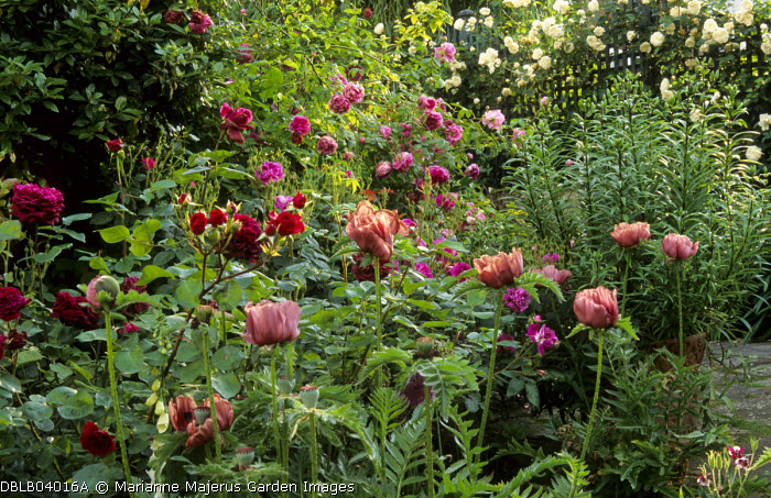 Papaver orientale 'Patty's Plum', Rosa 'William Lobb', 'Tradescant', 'Tour de Malakoff' and 'Sombreuil'