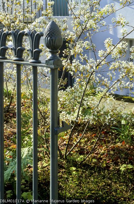 London front garden, amelanchiers in blossom in front garden