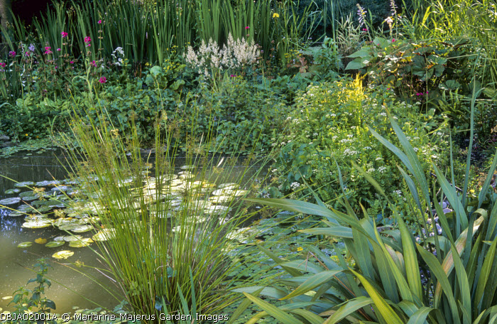 Wildlife pond, water lilies, hostas, grasses, soft rushes