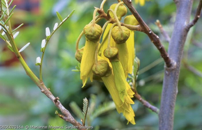 Sophora tetraptera