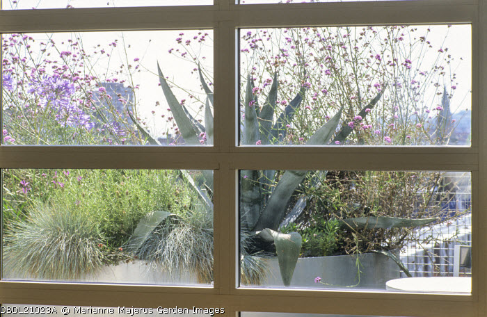 View from inside through window to balcony outside, galvanized containers, Agave americana, Festuca glauca, Verbena bonariensis