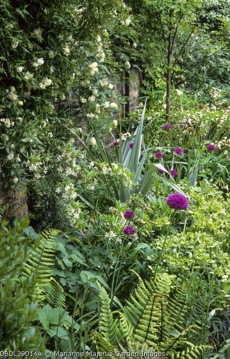 Rosa banksiae var. banksiae, Allium hollandicum 'Purple Sensation', ferns, hellebores, Choisya 'Aztec Pearl', astelia