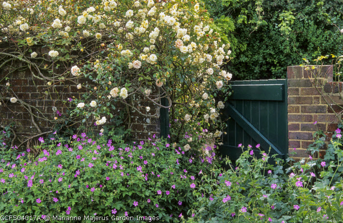 Rosa 'Alister Stella Gray', gate in wall, geraniums