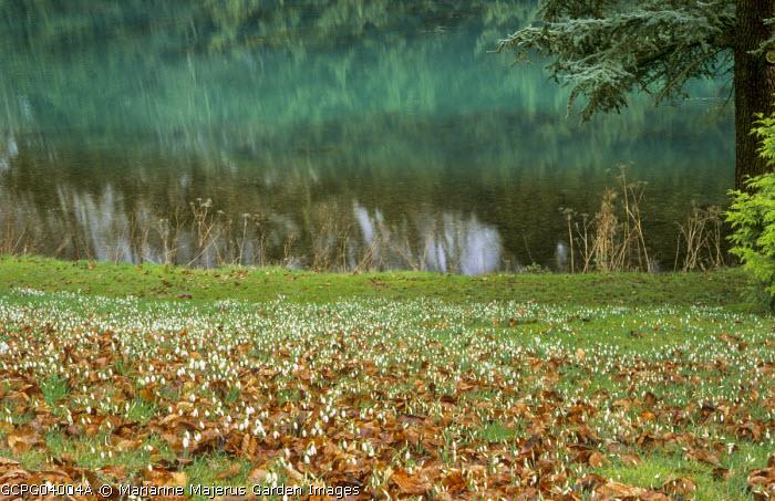 Galanthus nivalis naturalised on sloping bank by lake