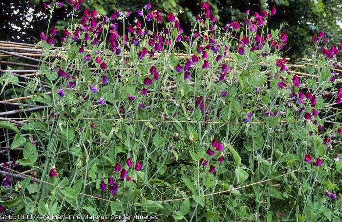Lathyrus odoratus 'Matucana' on trellis support