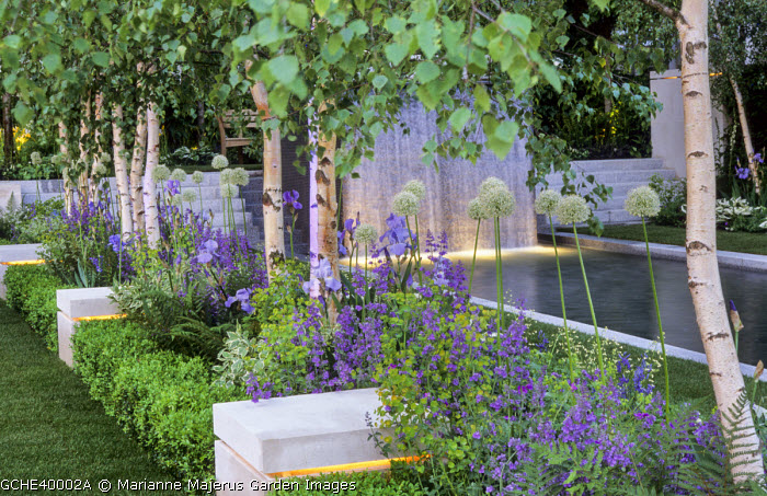 Row of multi-stemmed Betula pendula underplanted with nepeta, alliums, irises and ferns, clipped box hedge, stone cubes