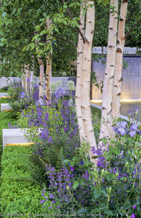 Row of multi-stemmed Betula pendula underplanted with nepeta, alliums, irises and ferns, clipped box hedge