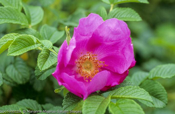 Rosa gallica var. officinalis