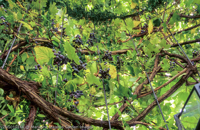Grape vine on pergola