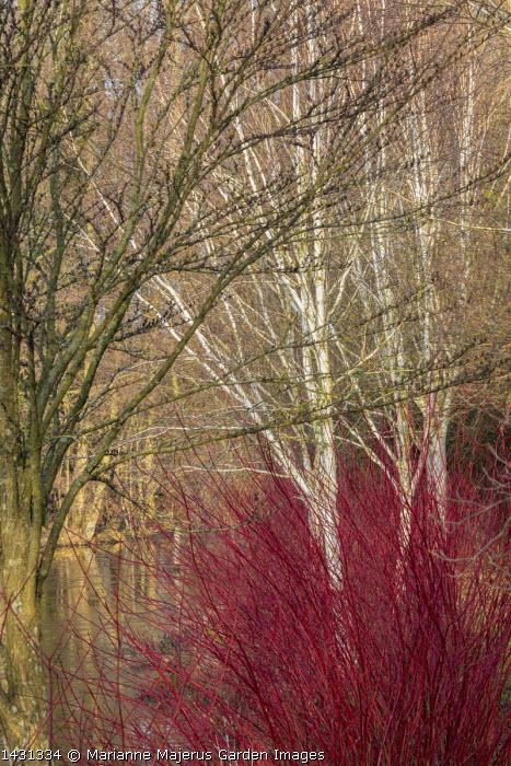 Cornus alba 'Sibirica', Betula uitilis var jacquemontii