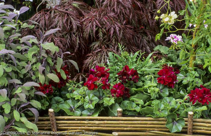 Salvia officinalis 'Purpurascens', Geranium 'Global Merlot', Acer palmatum 'Garnet', willow hurdle border edging