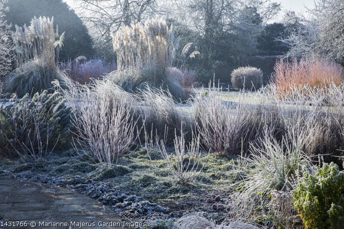 Stems of perennials and ornamental grasses in frost, Cornus sanguinea 'Midwinter Fire', Cortaderia selloana, Vinca minor f. alba