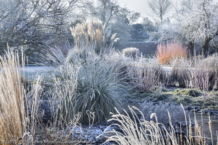 Stems of perennials and ornamental grasses in frost, Cortaderia selloana, Cornus sanguinea 'Midwinter Fire',  Pennisetum macrourum