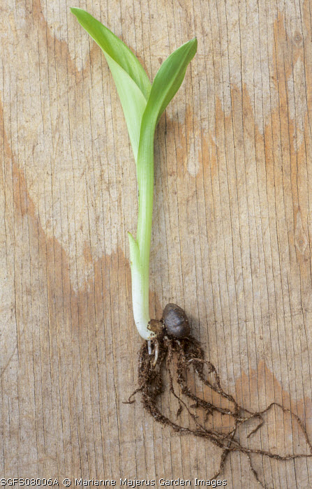 Musa maurelii seedling on wooden table, roots