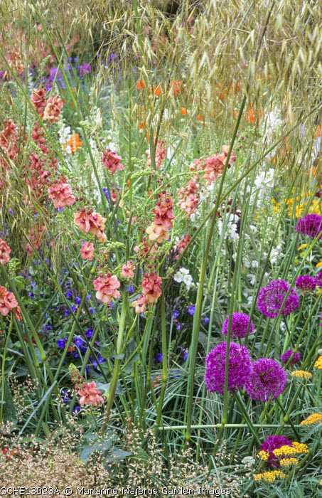 Stipa gigantea, Verbascum 'Cotswold Beauty', Hesperis matronalis var. albiflora, Allium hollandicum 'Purple Sensation', achillea