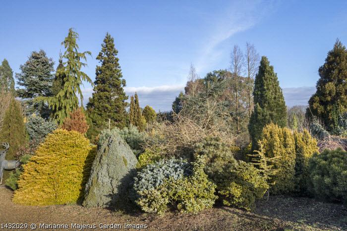 Abies nordmanniana 'Golden Spreader', Picea sitchensis 'Silberzwerg', Cupressus cashmeriana