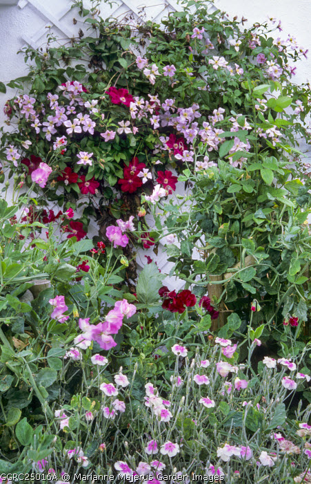 Clematis 'Rouge Cardinal' trained on wall trellis, Lychnis coronaria Oculata Group, Sweet peas
