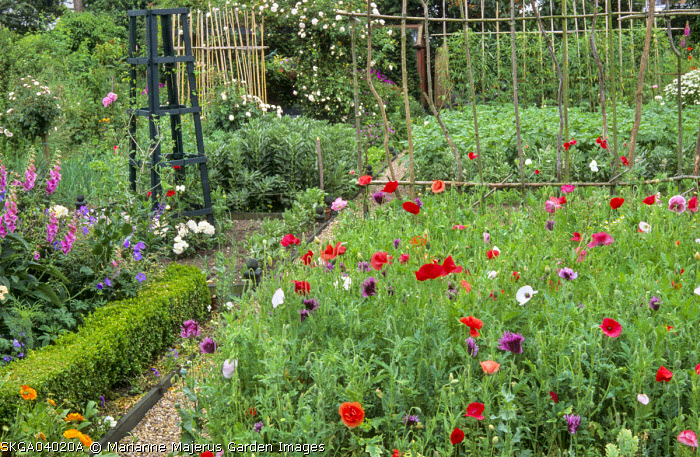 Potager, painted obelisk, Papaver rhoeas 'Mother of Pearl', foxgloves