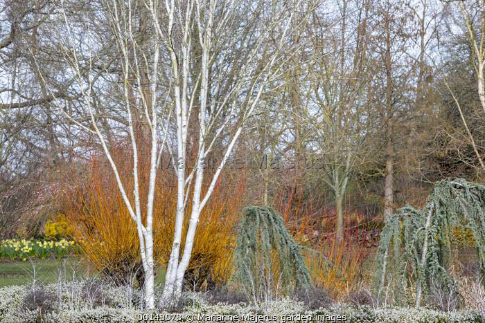 Betula utilis var. jacquemontii 'Doorenbos', Erica × darleyensis f. albiflora 'White Spring Surprise', Rubus thibetanus, Cedrus atlantica (Glauca Group) 'Glauca Pendula'