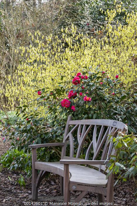 Wooden bench by Gaze Burvill, Camellia japonica 'Guilio Nuccio', Corylopsis spicata