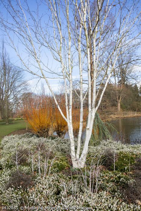 Betula utilis var. jacquemontii 'Doorenbos', Erica × darleyensis f. albiflora 'White Spring Surprise', Rubus thibetanus, Cedrus atlantica (Glauca Group) 'Glauca Pendula', Salix alba var. vitellina 'Yelverton'