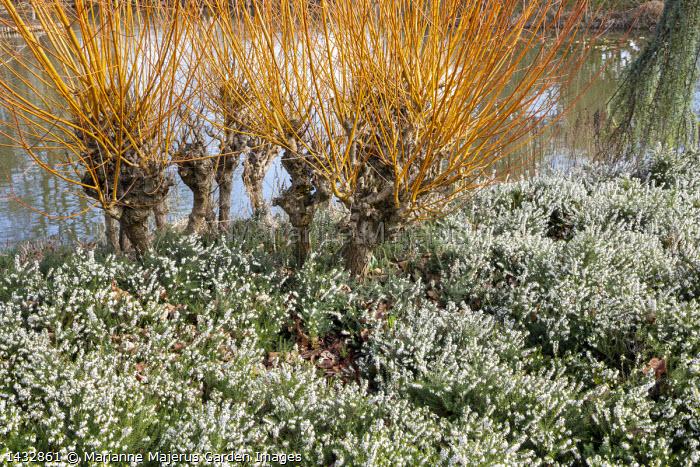 Pollarded Salix alba var. vitellina 'Yelverton', coppicing, Erica × darleyensis f. albiflora 'Snow Surprise'