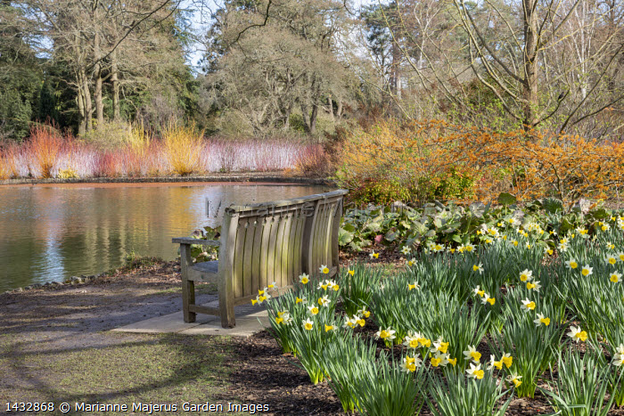 Wooden bench by Gaze Burvill overlooking lake, Hamamelis × intermedia 'Aphrodite', Narcissus 'Wisley', bergenia