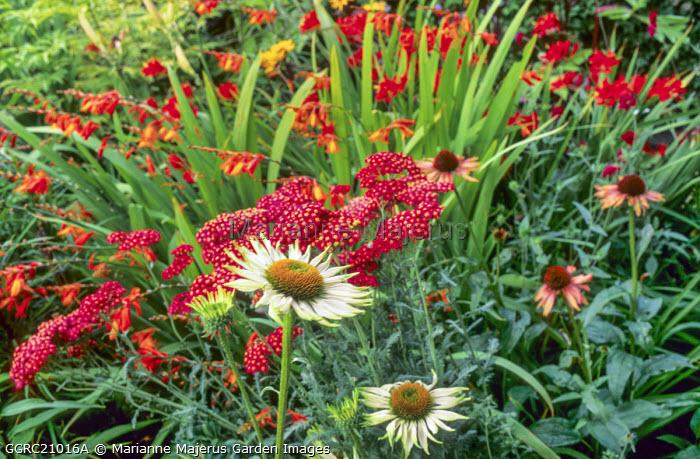 Achillea millefolium 'Red Velvet', Echinacea purpurea 'Fragrant Angel', Crocosmia 'Spitfire'