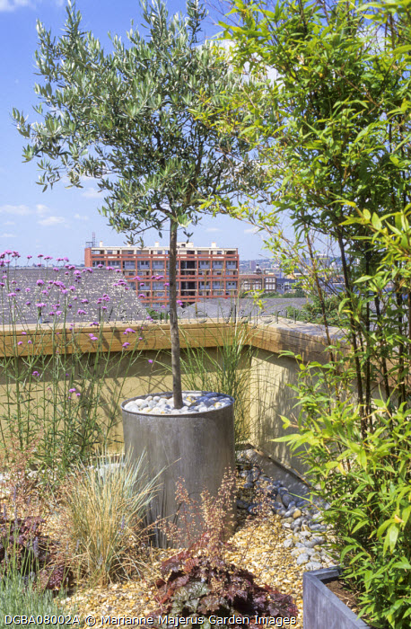 Olive tree in zinc container, bamboo, Verbena bonariensis, sky-line, roof terrace