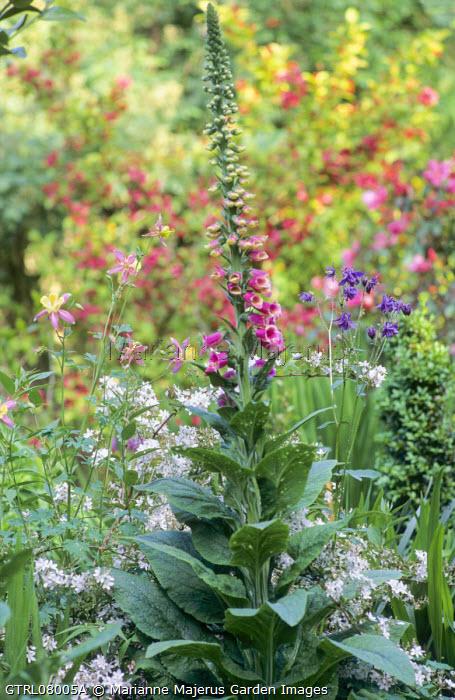 Aquilegia vulgaris, Digitalis purpurea, Rosa × odorata 'Mutabilis' and Weigela 'Bristol Ruby'