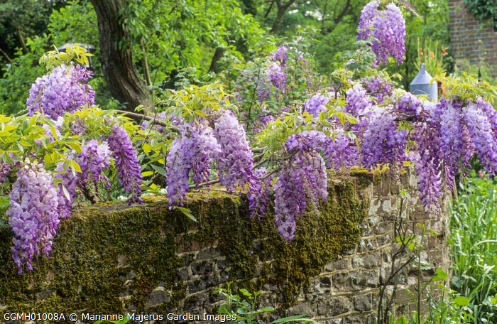 Wisteria trained over wall