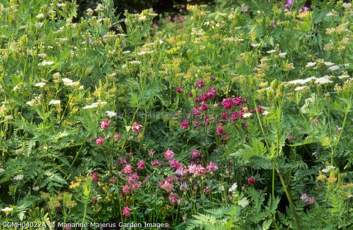 Aquilegia vulgaris and Myrrhis odorata
