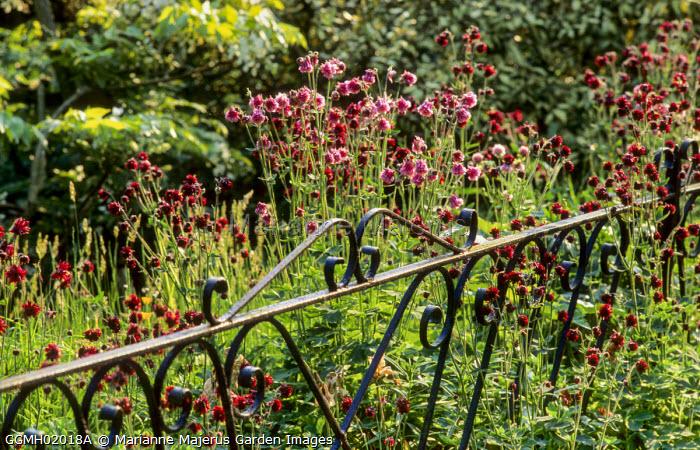 Wrought-iron fencing, Aquilegia vulgaris