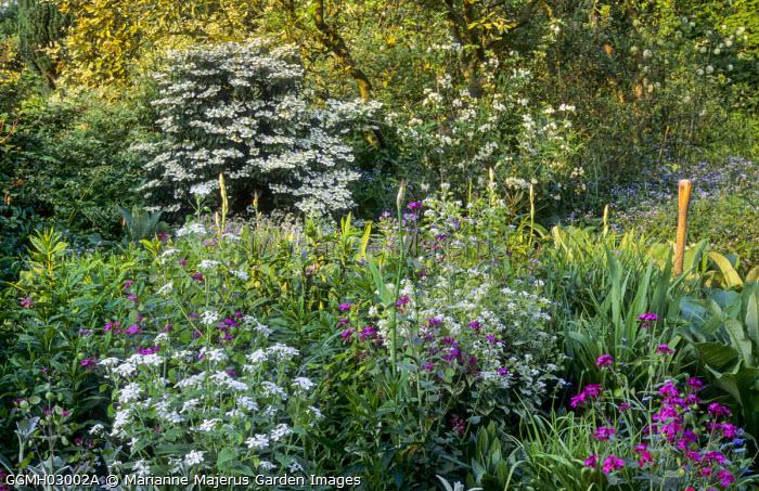 View across honesty border to Viburnum plicatum 'Mariesii'