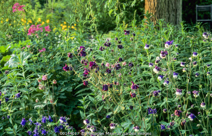 Aquilegia vulgaris in wild garden