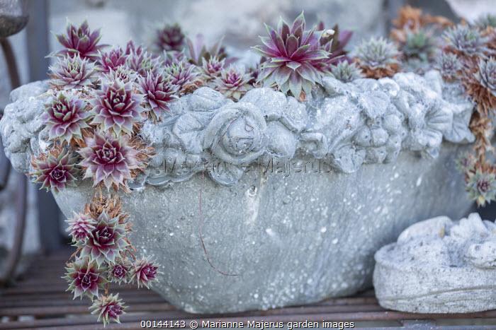 Sempervivums in cast concrete pot