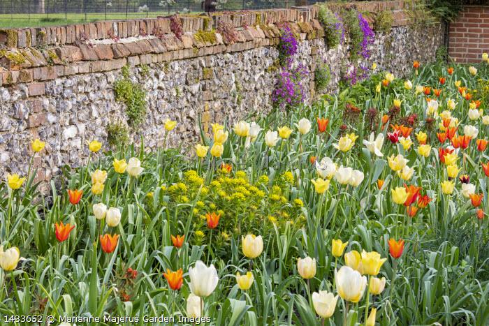 Tulips and euphorbia in border by stone wall, aubretia, Tulipa 'Ballerina', 'World Friendship' and 'Francoise'