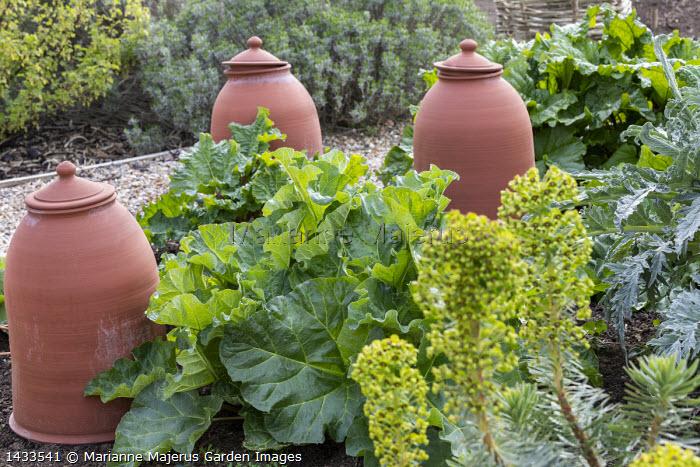 Rhubarb and terracotta rhubarb forcers, euphorbia