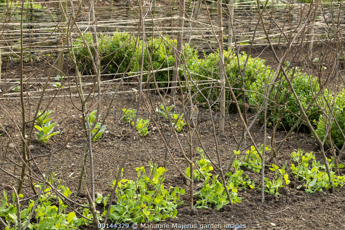 Pea shoots planted with pea sticks, plant support