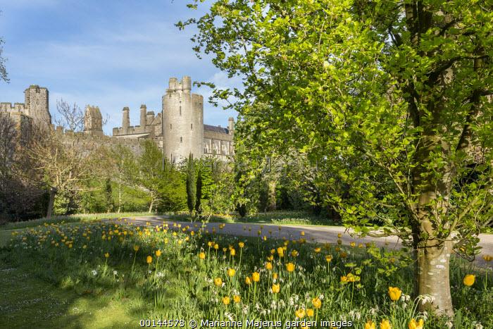 Tulipa 'Jan van Nes' naturalised in long grass, view to Arundel Castle